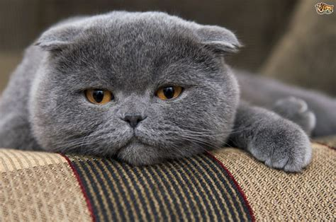 Six cat breeds that originate in the UK   Pets4Homes