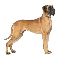 great dane dogs great dane dog breed info pictures petmd great dane dogs breed information omlet