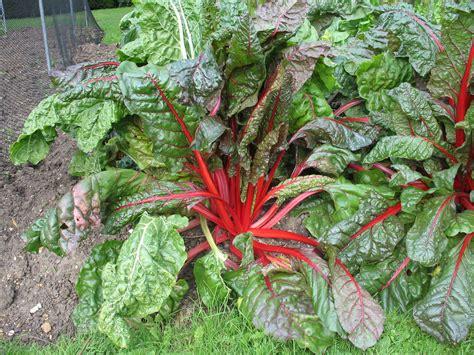 ist rhabarber obst rhabarber pflanzen anbauen pflegen vermehren plantura