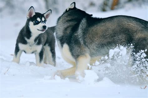snow husky puppy siberian husky snow dogs hd wallpapers hd wallpapers high definition free background