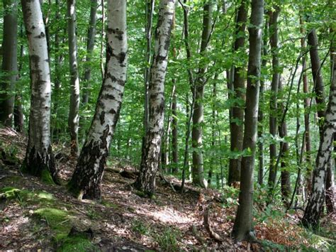 Stealing The Trees who is stealing wisconsin s birch trees and why