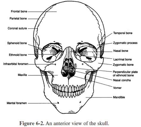 anatomy and physiology coloring book skeletal system study help study and skulls on