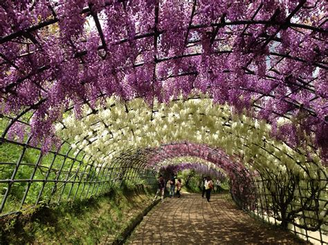 japan wisteria tunnel wisteria tunnel in japan globetrotting supernova
