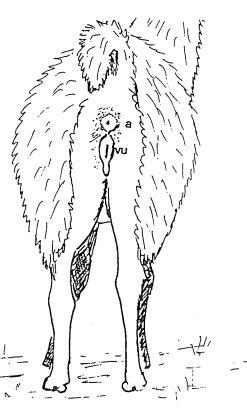llama  female reproductive anatomy part