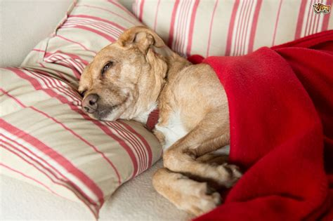 lead poisoning in dogs aspirin poisoning in dogs pets4homes