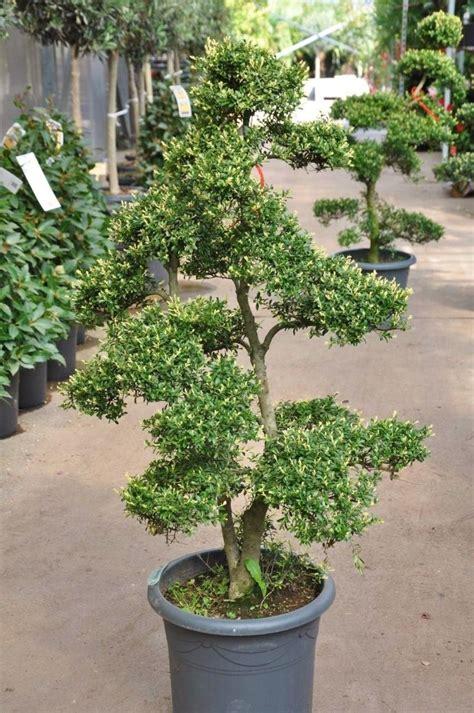 garten bonsai stechpalme garten bonsai christdorn sonstige geh 246 lze
