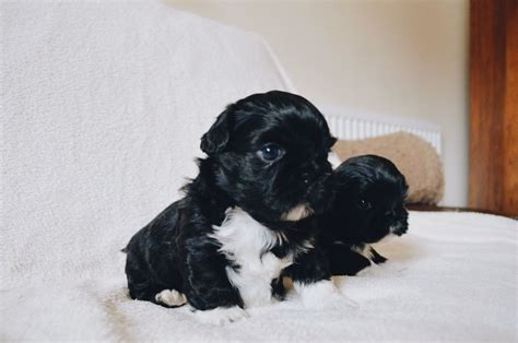 shih tzu puppies for sale in sheffield pedigree shih tzu puppies sheffield south