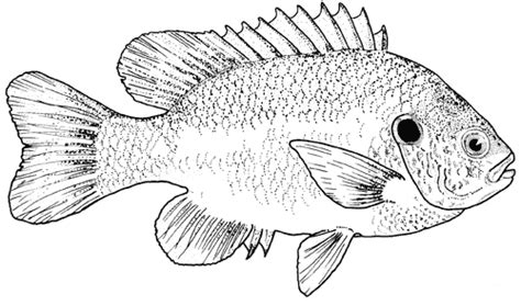 sunfish coloring page sunfish coloring page coloring pages