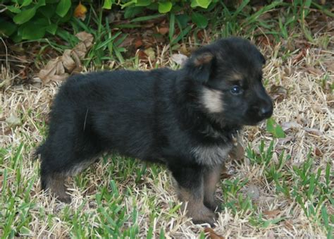 baby german shepherd puppies baby german shepherd adoption breeds puppies