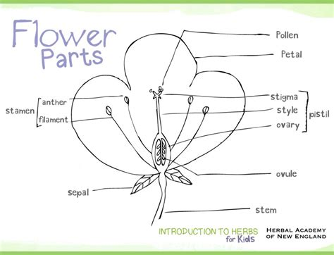 Herbal Academy Introduction To Herbs For Kids Meet My Parts Of A Flower Coloring Page