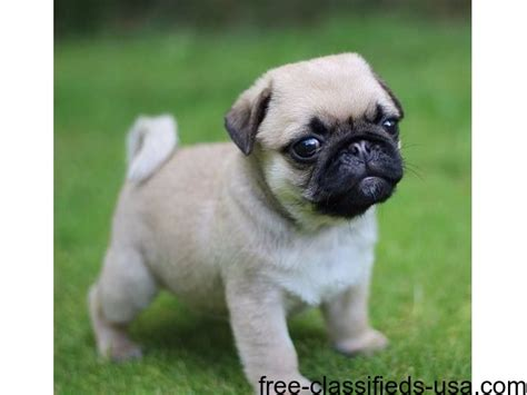 pug puppies for sale in bakersfield ca pedigree kc reg pug puppies chion lines animals bakersfield california