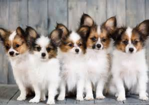 4 characteristics of the papillon breed american