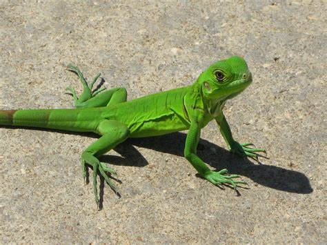 imagenes de iguanas blancas iguanas reptiles animales salvajes