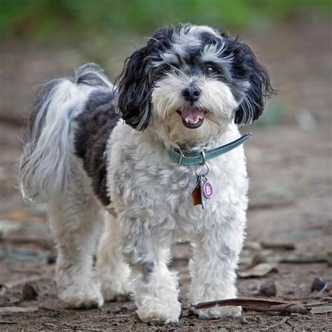 havanese seattle 237 best images about mine on dogs search and food