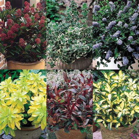 evergreen dwarf shrubs collection for all who love our green and pleasant land