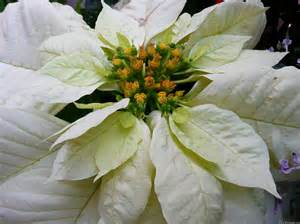 white poinsettia mlewallpapers white poinsettia