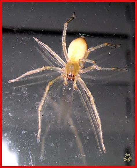 spider with yellow pattern on back uk yellow sac spiders 183 msu plant and pest diagnostic services