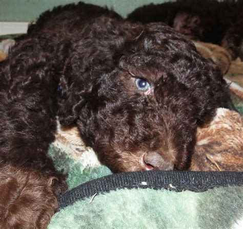 doodle puppies for sale in washington state f1b labradoodle puppies for sale in washington summer
