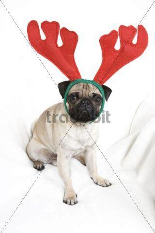 pug reindeer pug wearing reindeer antlers animals
