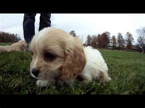 puppies for sale in ohio cavapoo puppies for sale columbus ohio cleveland