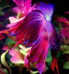 betta fish colors pez betta o luchador de siam animals betta