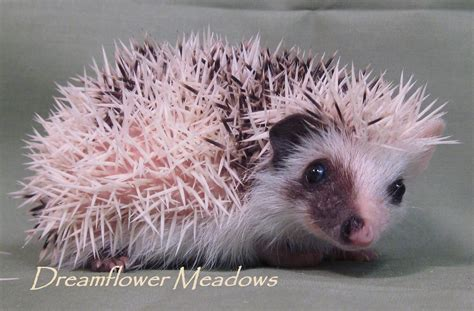 Dreamflower Brown hedgehogs recipe dishmaps