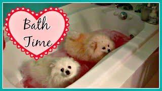 pomeranian air swimming so teacup pomeranian for sale tea cup puppy for sale ремонт