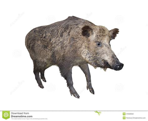 wild boar pig isolated over white stock photo image