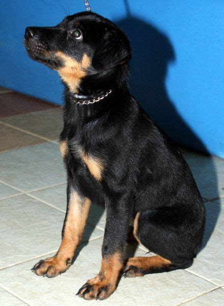 doberman rottweiler mix puppy rotterman doberman rottweiler mix info puppies and pictures