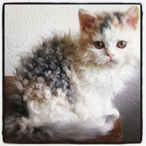 cat hair cat curly hair kitten my
