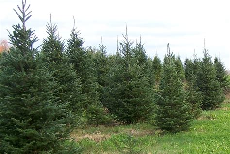 buy local christmas trees support local growers news