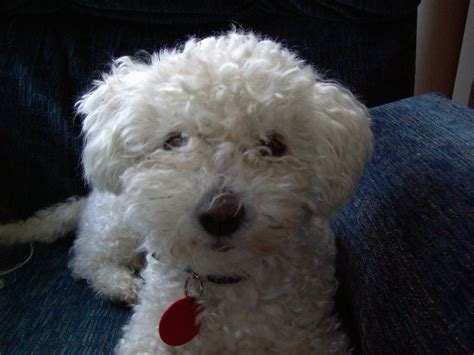 Do Maltese Shed Hair by Small Dogs With Curly Hair Breeds Picture