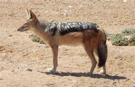 fotos de chacales chacal wikipedia la enciclopedia libre