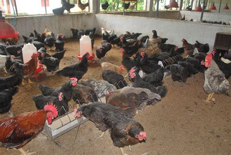 backyard poultry farming in india poultry farming information guide asia farming