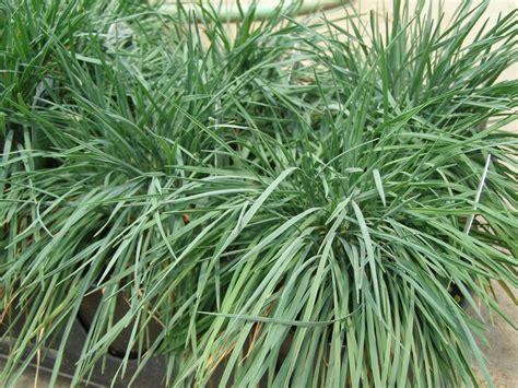 decorative grass plants parks brothers farm wholesale plants blue sprite grass