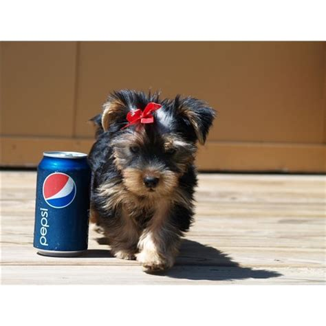 micro yorkies for adoption adoption and teddy dogs on