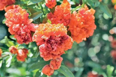 melograno pianta da giardino giardini
