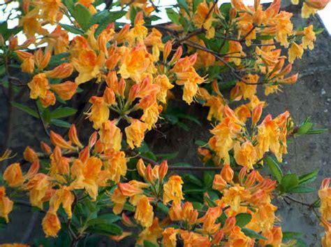 coltivazione azalea in vaso piante da vaso rhododendron rododendro azalea