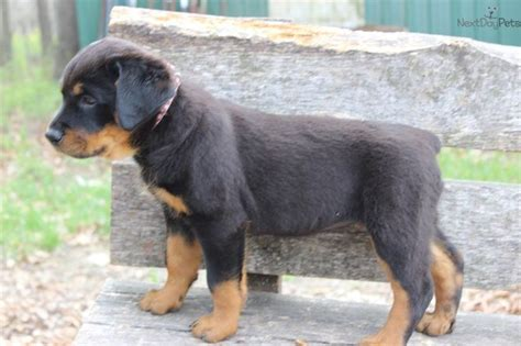 german rottweiler puppies for sale near me 130 best rottweilers images on rottweilers rottweiler puppies and animals