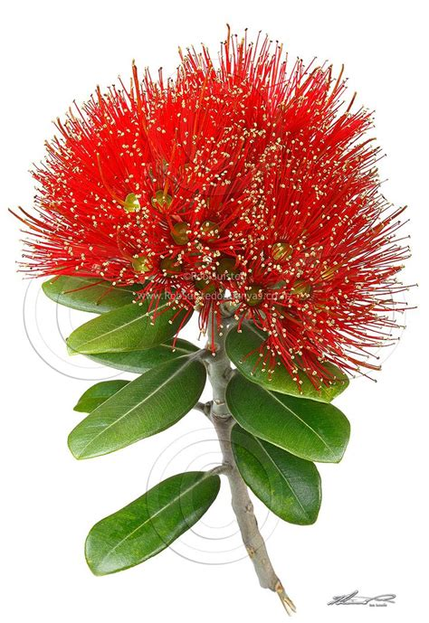 images of christmas nz pin by linda kennerley on pohutukawa flower art