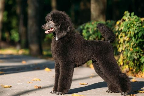 photoes of different types of poddles poodle dog breed information buying advice photos and