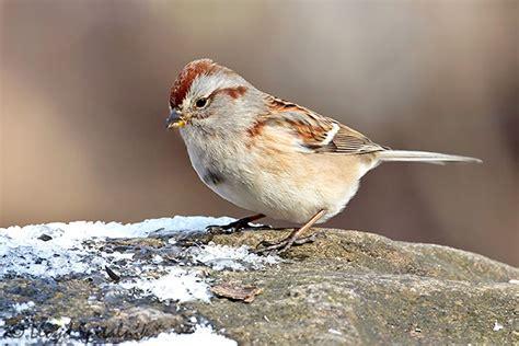 american tree sparrow photo lloyd sandy spitalnik