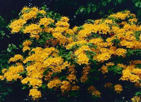 fiori azalee azalea significato linguaggio dei fiori l azalea nel