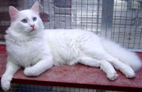Baju Anjing Dan Kucing Baseball Ungu kucing ras turki anggora all about ku cat