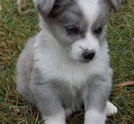 corgipoo puppies corgipoo corgi x poodle mix info temperament puppies pictures
