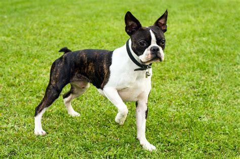 alimentazione boston terrier boston terrier carattere e informazioni sulla razza canina