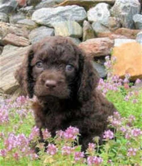 puppy finder wi american water spaniel muzzle american water spaniel breeds picture
