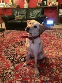 therapy dogs for sale withdrawn autism therapy for loving family congleton cheshire pets4homes