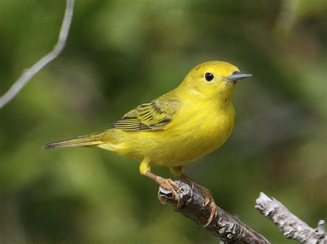 yellow warbler female birdforum gallery