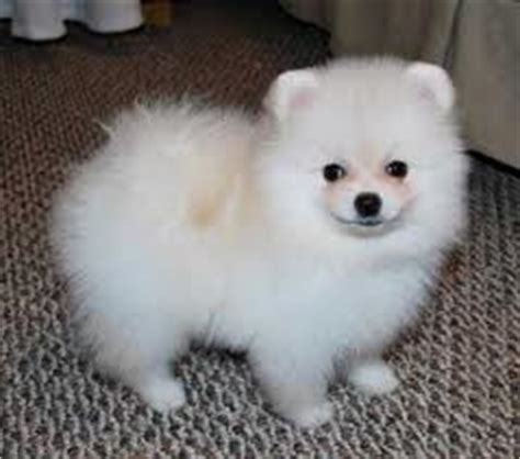 pomeranian breeders vancouver breed pomeranian puppies text us 720 445 7420